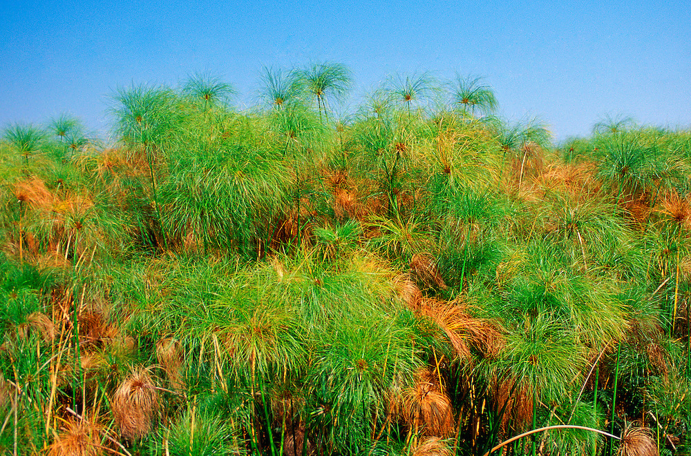 Papyrus growing in the Okavango Delta in Botswana, Africa