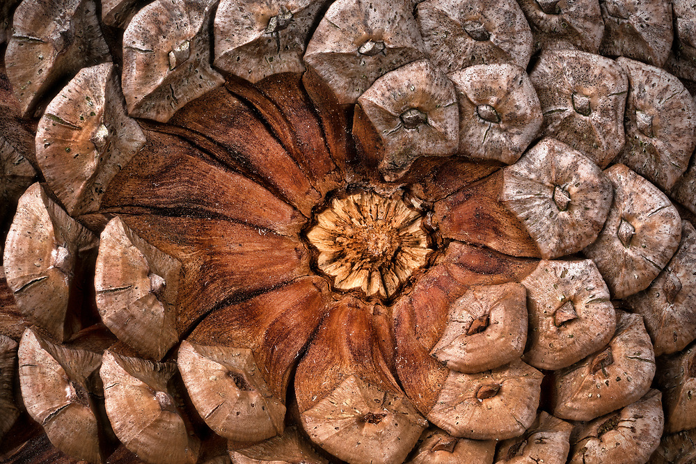 I step over pine cones every day and generally ignore them. I found this one and was curious about the asymmetrical base. Clearly, the scales had started to break away revealing a nice abstraction.<br />