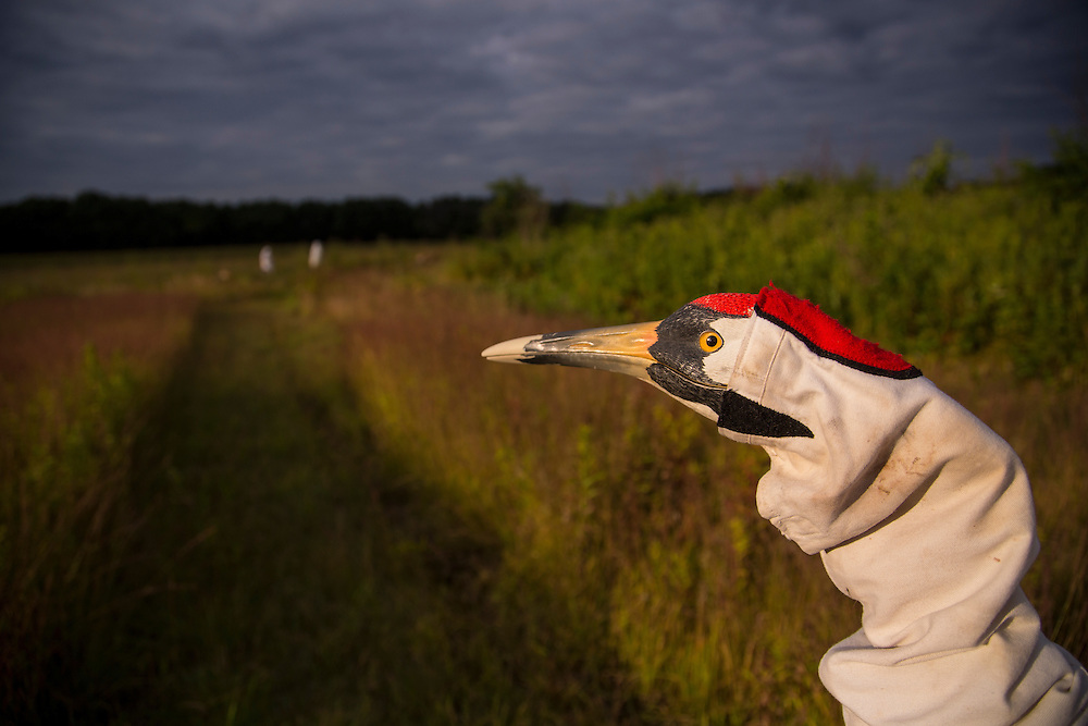 The puppet head of an adult Whooping Crane as worn by a costumed aviculturist.
