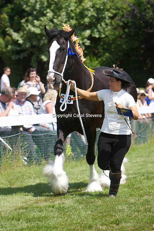 Mr J S Cross' 9 year old black mare  Westfield Lucky Charm  shown by Nathalie Cross<br /> s  Leverton Oscar<br /> <br /> 2nd  Barren Mare, 4 years old and over