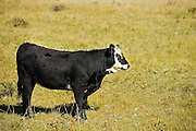 Cattle. Black angus<br /> Fort Walsh<br /> Saskatchewan<br /> Canada