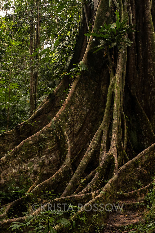 A ficus tree with dramatic buttress roots grows in the rainforest at Casual Trail near Nauta in the Peruvian Amazon.