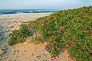 Rosa Rugosa on beach,New York, Hampton Bays , Long Island, Atlantic Ocean, Sunrise