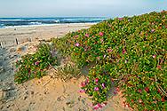 Rosa Rugosa on beach,New York, Qougue, , Long Island, Atlantic Ocean, Sunrise