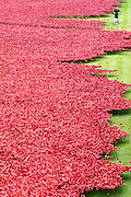 © Licensed to London News Pictures. 15/10/2014. London, UK A gardener cuts the grass around the Tower of London's Poppy Installation today 15th October 2015.  The artwork, Blood Swept Lands And Seas Of Red, was created to mark the centenary of the start of the Great War. It will eventually include 888,246 ceramic poppies to represent all British or colonial military fatalities of the conflict. Photo credit : Stephen Simpson/LNP