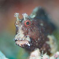 Starry Blenny, Salarias ramosus, Mabul Island, Sabah, Malaysia, Borneo.