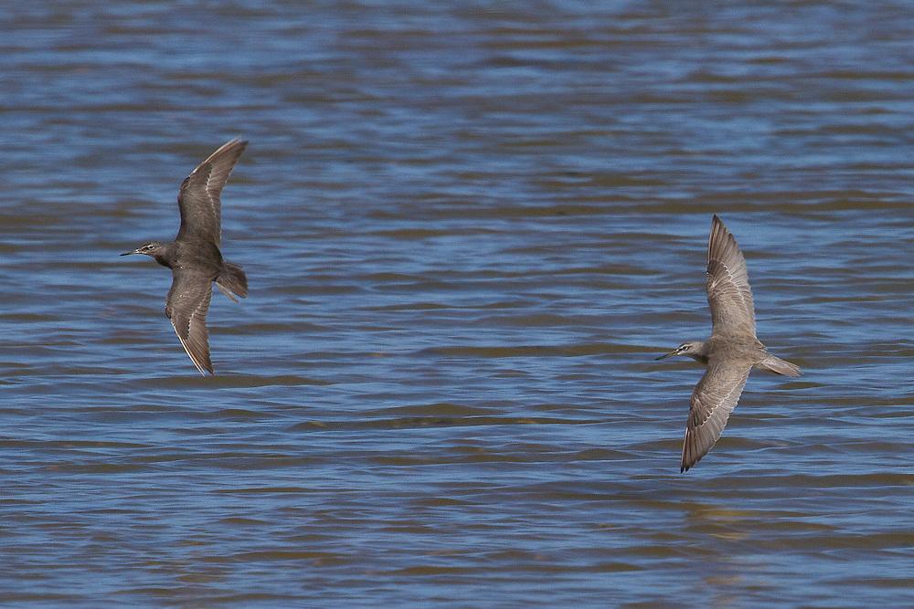 Gray-tailed Tattler or Siberian Tattler photo Hawaii