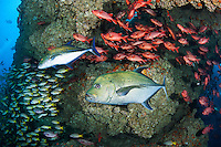 "Jacks, Snappers, and Squirrelfish congregate in a natural ""swim through"".<br /> <br /> <br /> Shot at Cocos Island, Costa Rica"