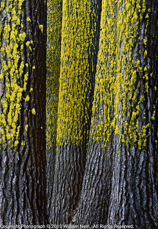 Lichen and fir trees, Yosemite National Park, California  1999