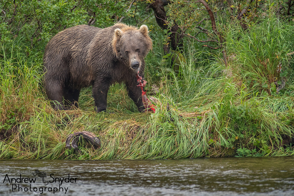 A brown bear (Ursus arctos) feasts on a sockeye salmon (Oncorhynchus nerka) - Katmai, Alaska