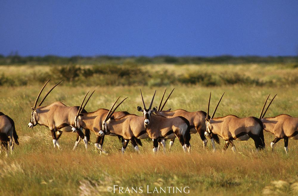 Gemsbok herd, Oryx gazella, Botswana