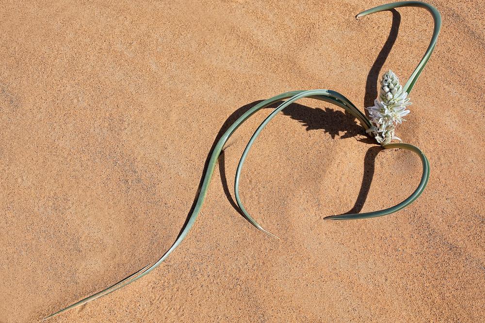 Plant with white petals in desert sand, Merzouga, Morocco.