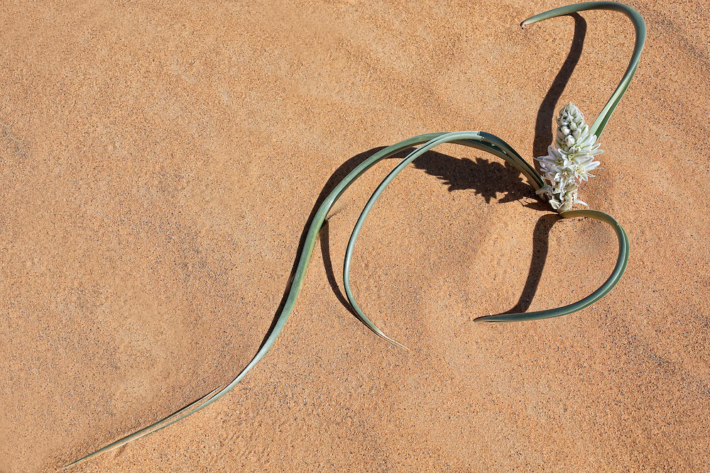 Plant with white petals in desert sand, Merzouga, Morocco.