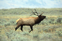 A large bull elk bugles near the elk refuge just outside of Jackson, Wyoming.