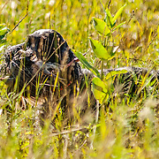 Photography of the Cocker Spaniel Hunting Enthusiasts Of Southeastern Wisconsin (CSHESEW) Hunt Test. The event took place at the Mazomanie Unit Lower Wisconsin Riverway, in Mazomanie , WI, July 30-31, 2016.