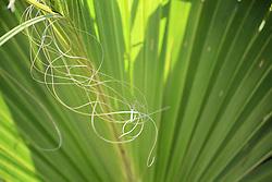 Palm Leaf, Anastasia Island, Florida