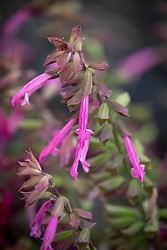 Salvia Salmia Pink