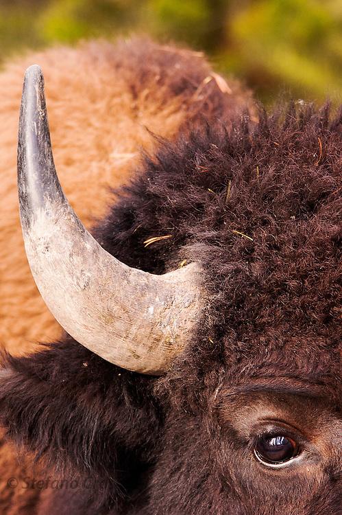 USA, Yellowstone National Park (WY)<br /> Bison (Bison bison) close-up in Hayden Valley