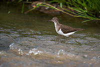 Common Sandpiper, Marataba Private Game Reserve, Limpopo, South Africa