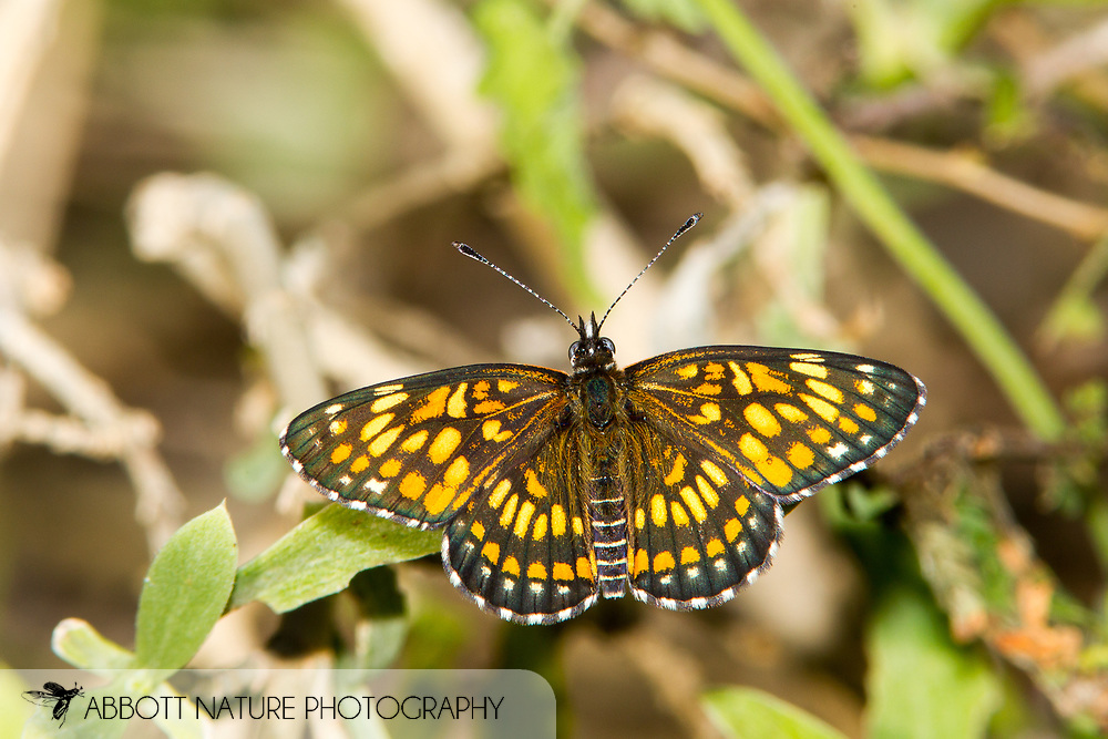 Theona Checkerspot (Chlosyne theona)<br /> TEXAS: Cameron Co.<br /> Las Palomas Wildlife Management Area; Boca Chica<br /> off Hwy 4<br /> 9-Nov-2014<br /> J.C. Abbott &amp; K.K. Abbott