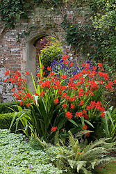 Crocosmia 'Lucifer' with Aconitum napellus 'Bergfurst' at Sissinghurst Castle Garden