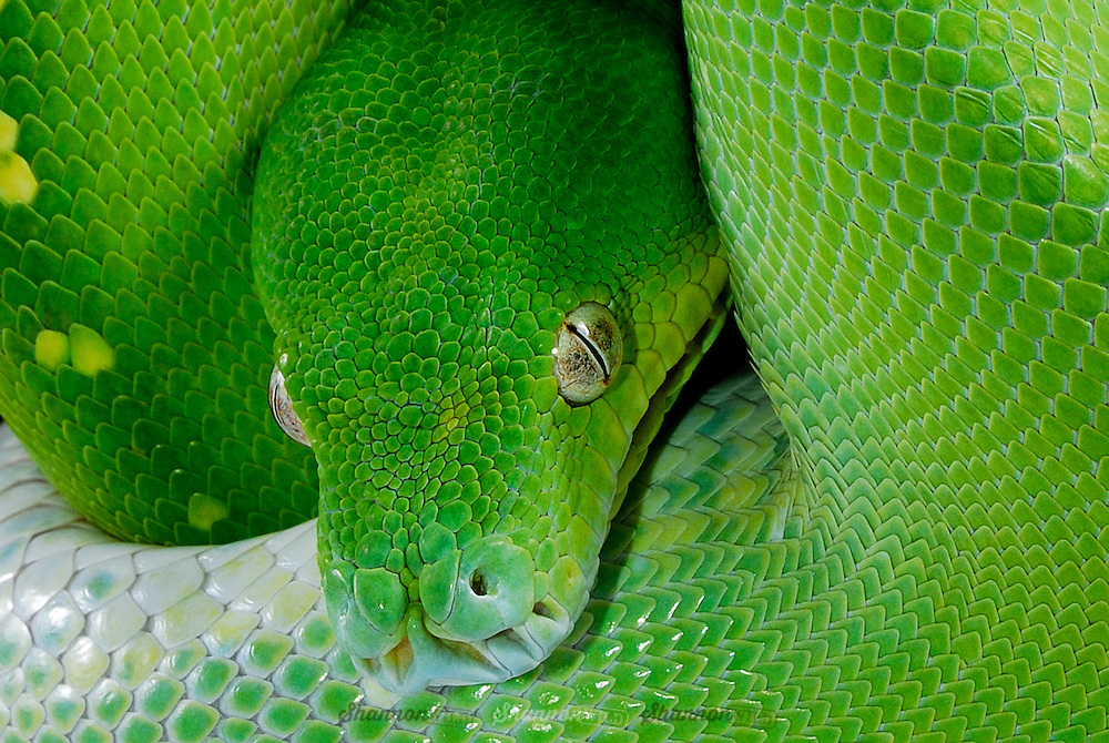 Green Tree Python (Morelia viridis) is a non-venomous python species found in the Cape York Peninsula in Australia, New Guinea and various islands in Indonesia.