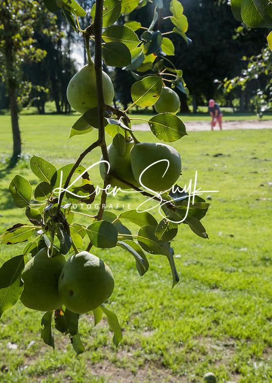 ELST - fruit bij de green van hole 10,  Golfbaan Landgoed Welderen. COPYRIGHT  KOEN SUYK
