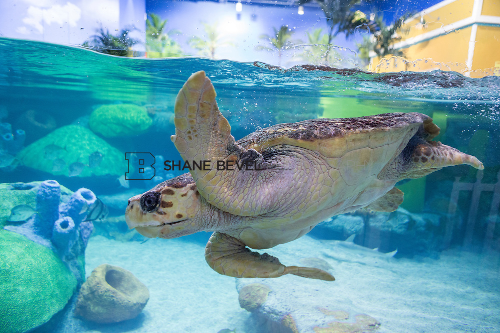 3/2/17 11:01:13 AM -- The ribbon cutting and grand opening of the new sea turtle exhibit at the Oklahoma Aquarium in Jenk, Okla. <br /> <br /> Photo by Shane Bevel
