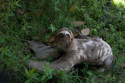 Sao Luis_MA, Brasil...Detalhes de um bicho-preguica (Bradypus infuscatus) na comunidade Vila Olimpica...The sloth (Bradypus infuscatus) in Vila Olimpica community in the community Vila Olimpica...Foto: LEO DRUMOND / NITRO