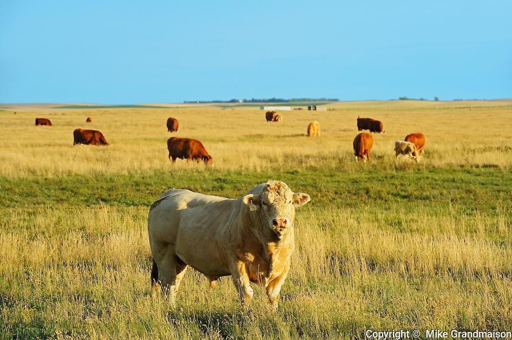 Cattle - Charolais bull<br /> Hodgeville<br /> Saskatchewan<br /> Canada