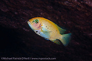 An orange morph  female Metriaclima sp. Zebra Cichlid swims inside a cave at Makulawe on the north end of Likoma Island, Lake Malawi, Malawi.