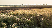 Wheat field Photographed in Eshkol region Israel. Gaza in the background