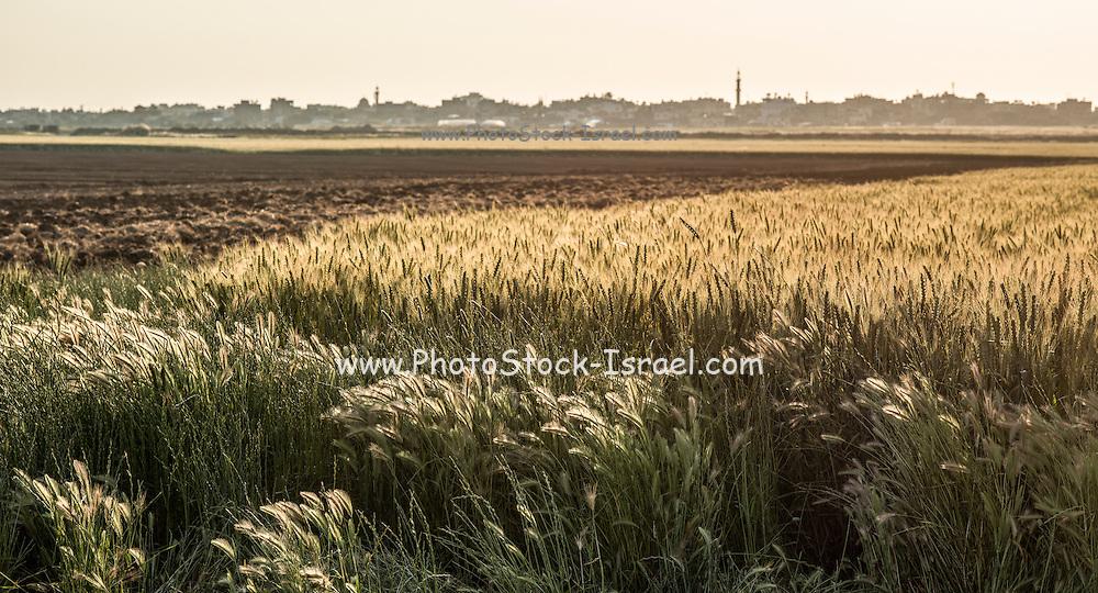 Wheat field Photographed in Eshkol region Israel. Gaza in the background