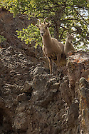 Each spring, bighorn ewes give birth to lambs on the high peaks of the Absaroka Range.  The rocky cliffs of the Absarokas keep the tiny lambs safe from predators during the first few weeks of their life.