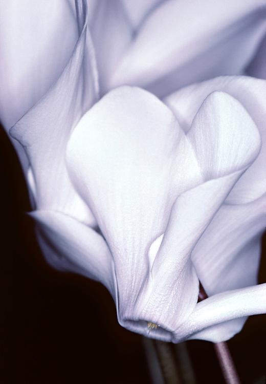 Elegant white cyclamen fowers, soft lit with a dark background.
