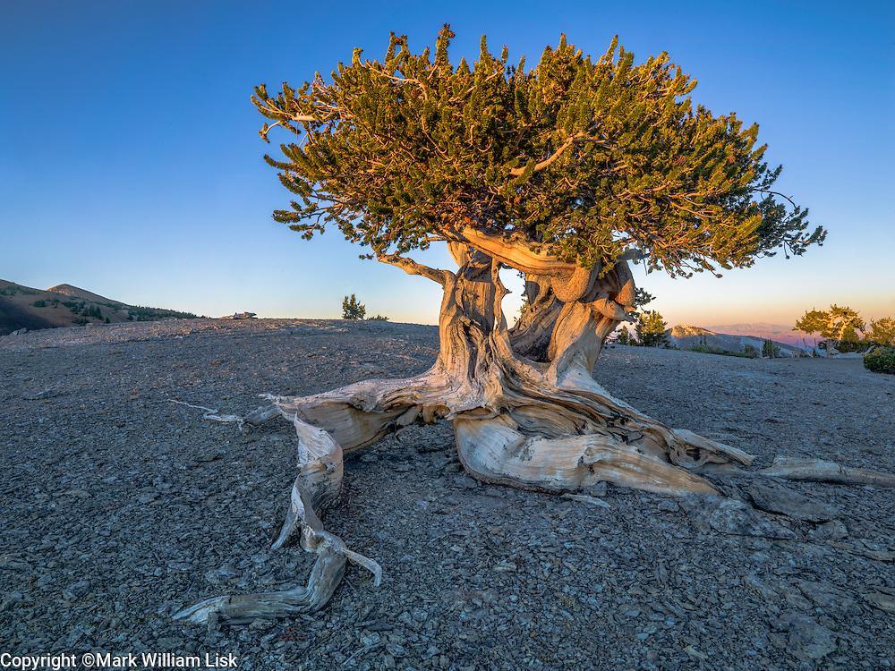 Mt. Washington Bristlecone Pine Grove, Great Basin Natiional Park, Nevada