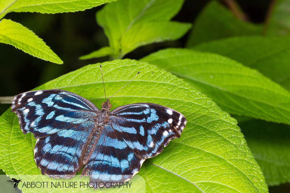 Mexican bluewing or blue wing (Myscelia ethusa)<br /> Belize: Cayo District<br /> Green Hills Butterfly Ranch<br /> 7-Aug-2015<br /> J.C. Abbott