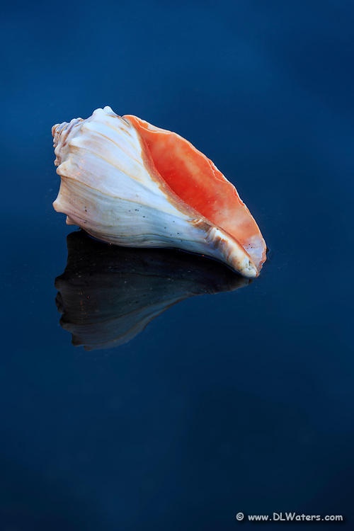 This whelk shell was photographed in Avalon  fishing pier parking lot in a small puddle. The deep blue is the reflection from the twilight sky.