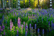 Sunrise through Aspen field on bush Lupin near Mt. Tallac  in South Lake Tahoe.
