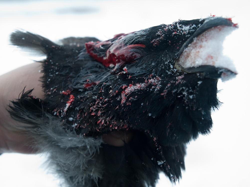 Waehrend der Jagd geschossener Vogel am fruehen Morgen in der sibirischen Taiga - ungefaehr 150 Kilometer entfernt von der sibirischen Stadt Jakutsk . Jakutsk hat 236.000 Einwohner (2005) und ist Hauptstadt der Teilrepublik Sacha (auch Jakutien genannt) im Foederationskreis Russisch-Fernost und liegt am Fluss Lena. Jakutsk ist im Winter eine der kaeltesten Grossstaedte weltweit mit bis zu durchschnittlichen Wintertemperaturen von -40.9 Grad Celsius.<br /> <br /> From a hunter  shoot down bird during an early morning hunt in the Siberian Taiga about 150 km from the city of Yakutsk. Yakutsk is a city in the Russian Far East, located about 4 degrees (450 km) below the Arctic Circle. It is the capital of the Sakha (Yakutia) Republic (formerly the Yakut Autonomous Soviet Socialist Republic), Russia and a major port on the Lena River. Yakutsk is one of the coldest cities on earth, with winter temperatures averaging -40.9 degrees Celsius.