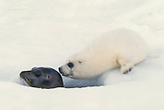 Baby harp seal nuzzling adult at breathing hole