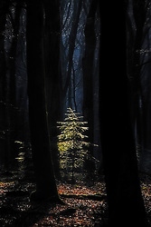 A single tree is being illuminated by a ray of sunshine in the dark forest.