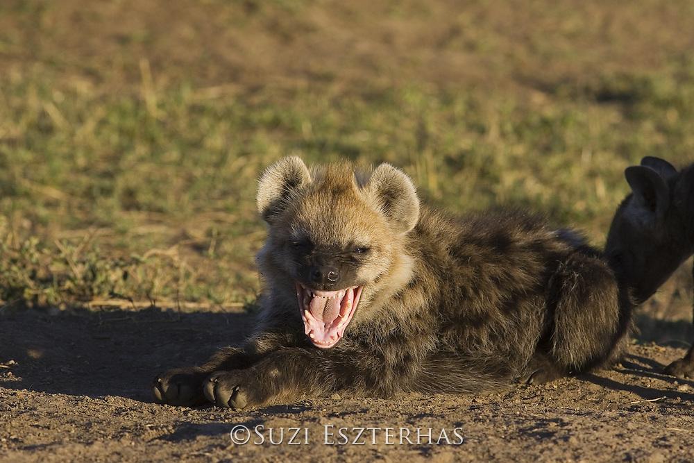 Spotted Hyena<br /> Crocuta crocuta<br /> 5 month old cub yawning<br /> Masai Mara Conservancy, Kenya