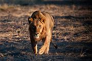 Lion, (Panthera leo), stalking a prey, Chief Island, Moremi Game Reserve, Okavango Delta, Botswana.