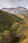Scot's pine trees growing in wooded ravine on Beinn Eighe National Nature Reserve, Scotland