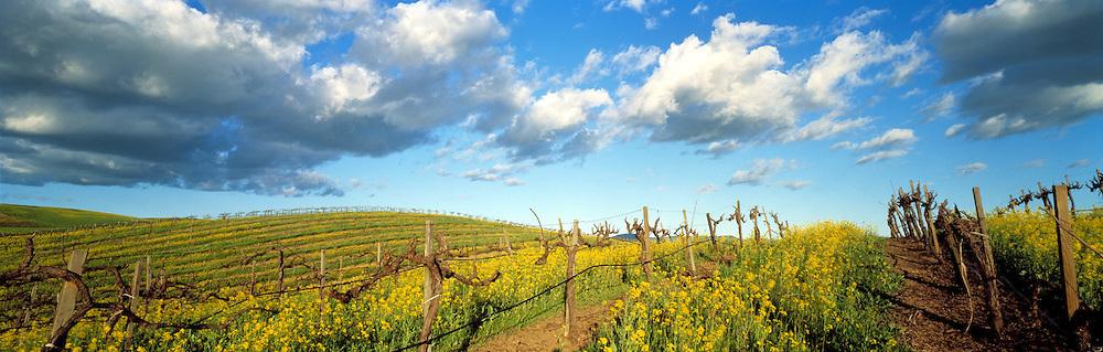 Mustard in Rolling Vineyard Hills