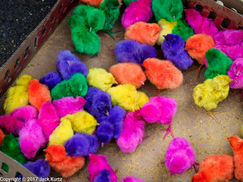 06 AUGUST 2017 - MENGWI, BALI, INDONESIA: Colorful dyed chicks for sale in the in the Bringkit Market, about 30 minutes from Denpasar. Bringkit Market is famous on Bali for its Sunday livestock and poultry market. Hundreds of the small Bali cows are bought and sold there every week. Bali's local markets are open on an every three day rotating schedule because venders travel from town to town. Before modern refrigeration and convenience stores became common place on Bali, markets were thriving community gatherings. Fewer people shop at markets now as more and more consumers go to convenience stores and more families have refrigerators.     PHOTO BY JACK KURTZ