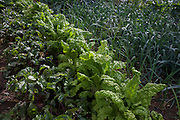 Beetroot, lettuces and leeks in a home-grown vegetable plot in a Somerset back garden.