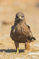 BLACK KITE (Milvus migrans), Campanarios de Azaba Biological Reserve, Salamanca, Castilla y Leon, Spain, Europe