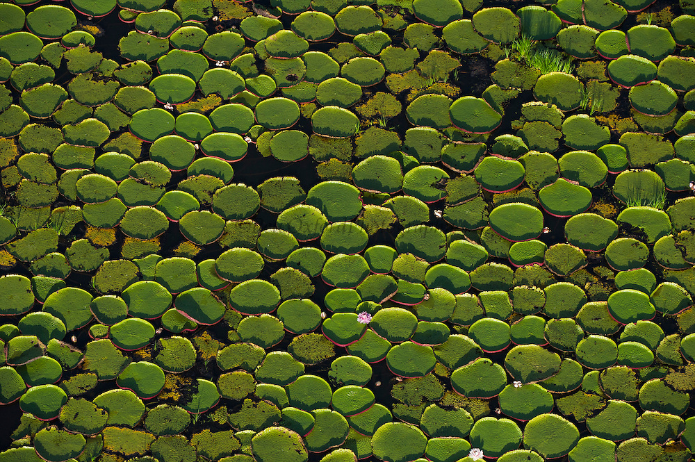 Giant Water Lily (Victoria amazonica)<br /> Savanna <br /> Rurununi<br /> GUYANA<br /> South America